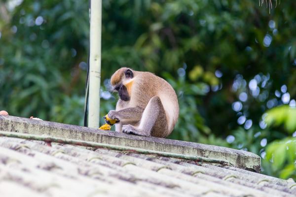 PhotoTrip - The green monkeys of Barbados