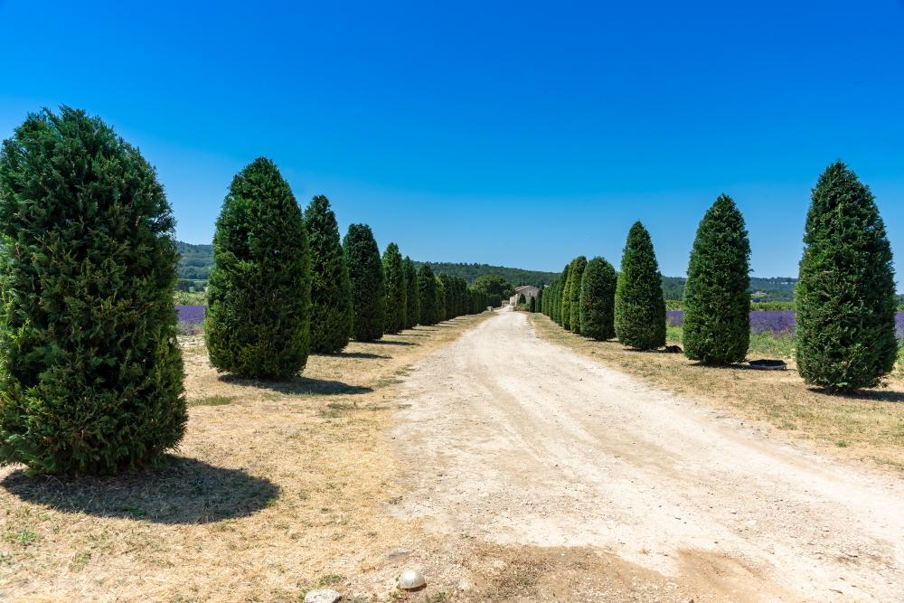 Lavander field, Provence